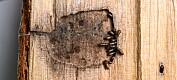 Barkbillehunner holder hanner som sexslaver