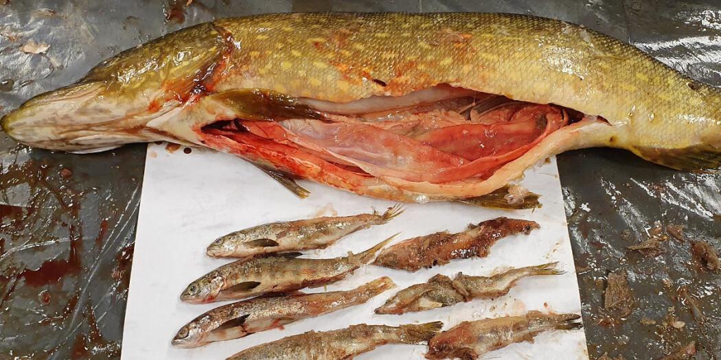 Gjedda i Tanavassdraget har laksesmolt øverst på menyen, men et uttak av de største gjeddene kan faktisk forverre situasjonen for laksebestanden i vassdraget.