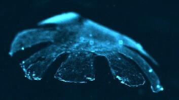 Den kunstige maneten medusoid er laget av rottehjertemuskler og silikon. Den svømmer nesten like godt som de ekte versjonene. (Foto: Harvard University/Caltech)