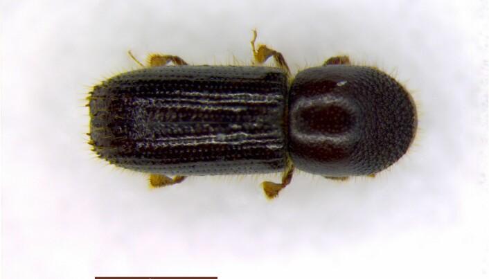 Barkbillen Xyleborinus attenuatus (hunn sett ovenfra).