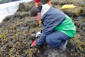 Forsker Céline Rebours tar algeprøver i Saltstraumen. (Foto: Bioforsk)