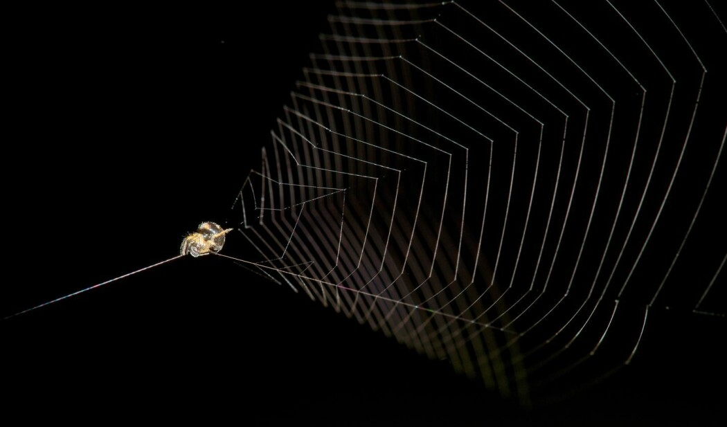 Edderkoppen vever et trakt-formet nett. Så trekker den midten bakover, slik at nettet blir spent som en sprettert eller slynge.