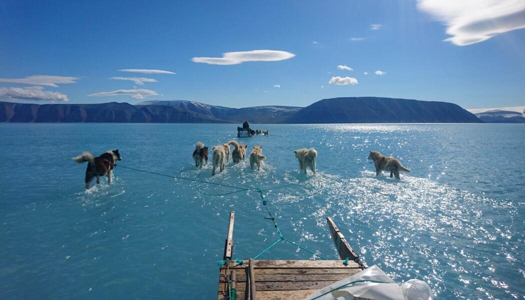 Sledehunder vader gjennom vann oppå isen sommeren 2019, som altså viste seg å være et rekordår. Bilde er tatt av Steffen Olsen, som jobber ved det Danske meteorologiske institutt.