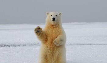 Kan isbjørnturister ha gode opplevelser selv om de ikke får se isbjørn?