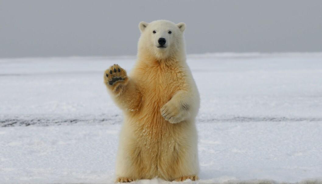 Kan isbjørnturistene sitte igjen med en god opplevelse selv om de ikke får sett denne karen?