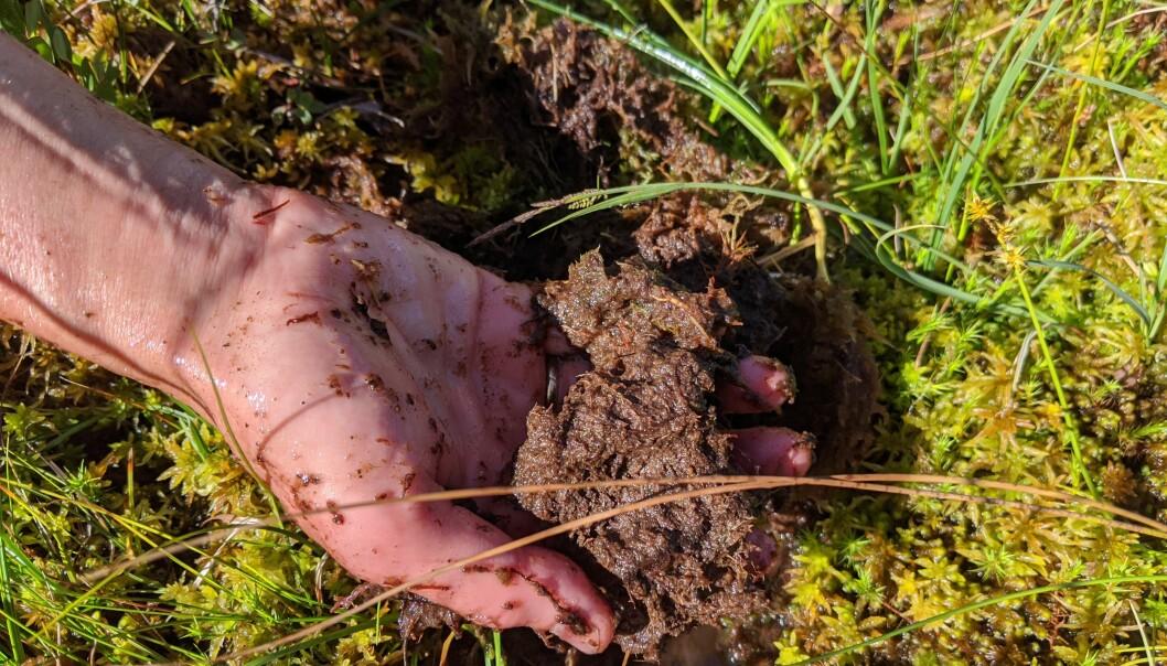 Litt nedi myra er torvmosen og dei andre plantene gått i oppløysing, og ser meir ut som brun graut. Denne grauten er rik på karbonforbindelsar og held godt på vatn. Foto: Kyrre Groven