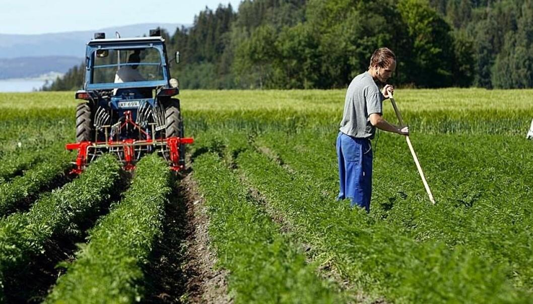 """""""Den økologisk bonden kan ikke bruke kjemiske midler for å holde ugraset under kontroll. Her benyttes både maskinelle og manuelle metoder i gulrotåkeren."""""""