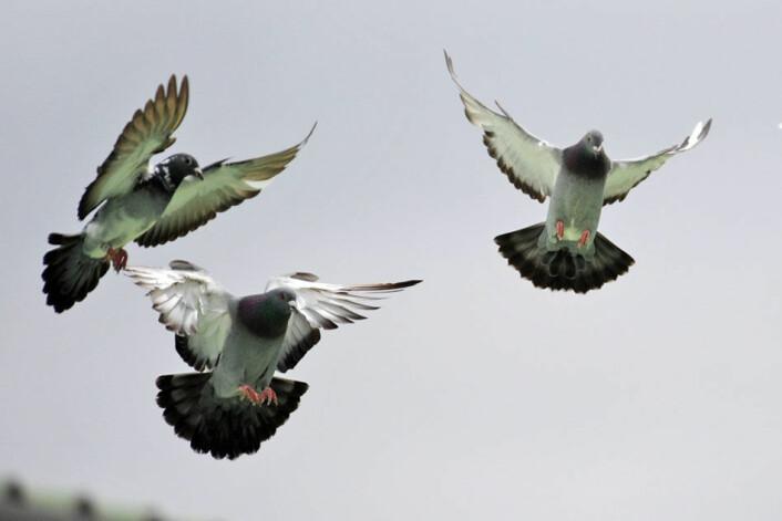 Duer bruker mer energi når de flyr i flokk. Her går de inn for landing. (Foto: Royal Veterinary College, University of London)