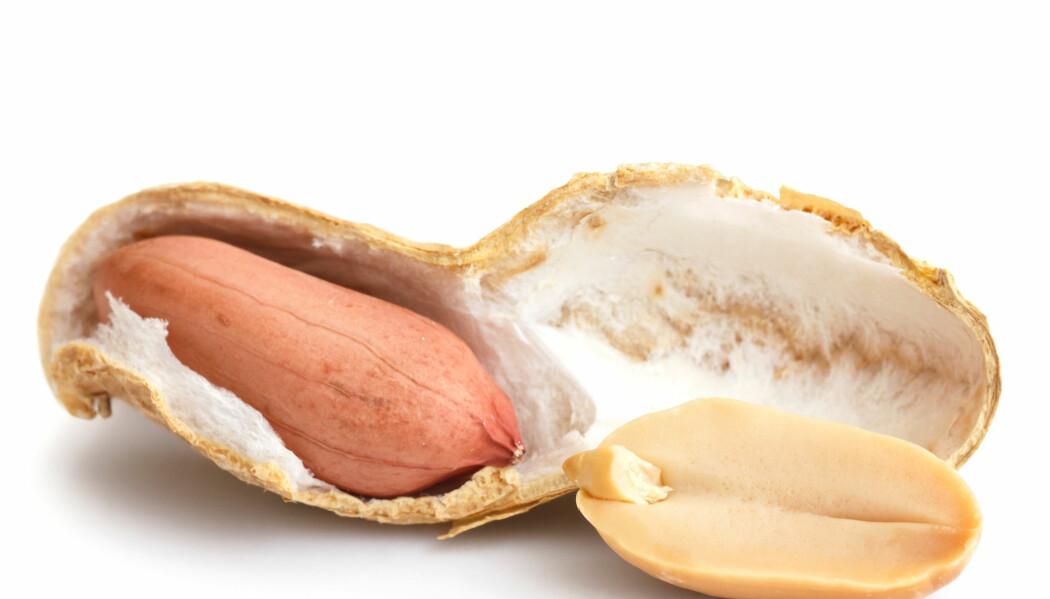 Det rosa skallet helt innerst på peanøtten er rikt på antioksidanter og skal brukes i melkesjokoladen.