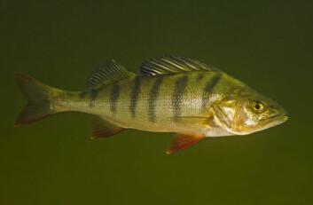 Abbor (Perca fluviatilis). (Foto: Bent Christensen)