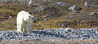 Isbjørn plyndrer fugleholmer på Svalbard