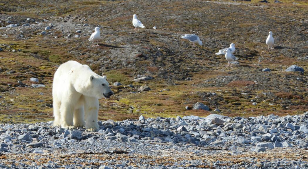 Isbjørn og polarmåker på en fugleholme i Kongsfjorden.