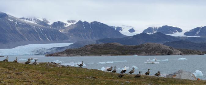 FUGLEHOLME. Ærfugl på en av de mange fugleholmene i Kongsfjorden som hvert år oppsøkes av isbjørn, polarmåke og fjellrev på jakt etter mat.