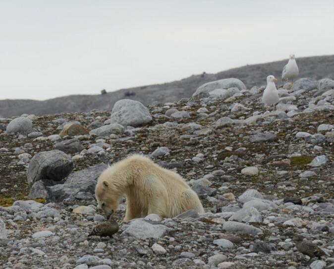 I REIRET. En isbjørn spiser egg fra et ærfuglreir.