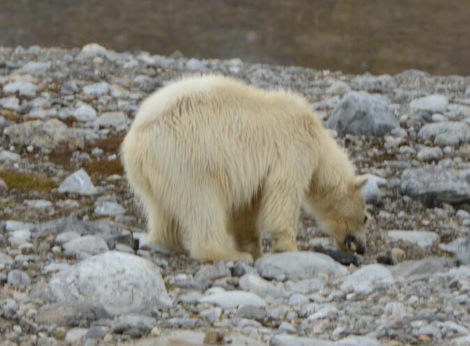 HØYKONSUM. En isbjørn kan lett plyndre flere hundre ærfuglreir i løpet av en dag. Her er en av dem langt nede i matfatet.