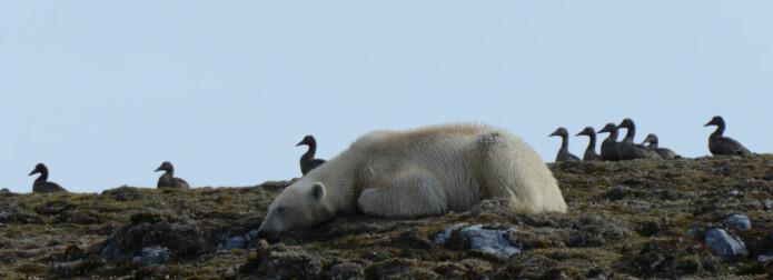 METT og TRØTT. Etter etegildene sovner bjørnene gode og mette på holmene.