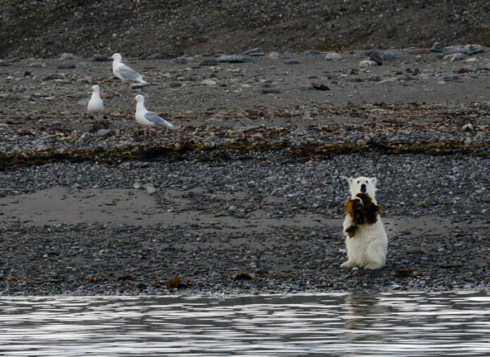 TANG. Det er observert at isbjørn spiser tang i fjæra. Her ser vi en isbjørnunge med tang i gapet.