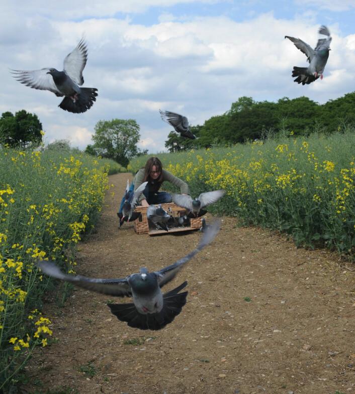 Duene fikk fly fritt i tre dager, mens forskerne registrerte alle bevegelser. (Foto: Royal Veterinary College, University of London)
