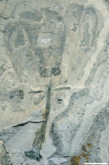 Fossil av tulipandyr. Hvit linje er lik én centimenter. (Foto: Royal Ontario Museum)
