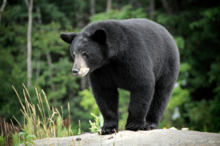 Amerikansk svartbjørn. (Foto: iStockphoto.com)