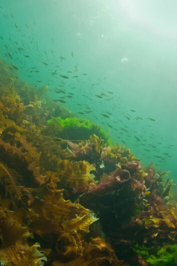 Makroalger som tang og tare er svært viktig for livet i havet, men også en verdifull ressurs. Dette er tatt rett utenfor Bodø. (Foto: Galice Guillaume Hoarau)