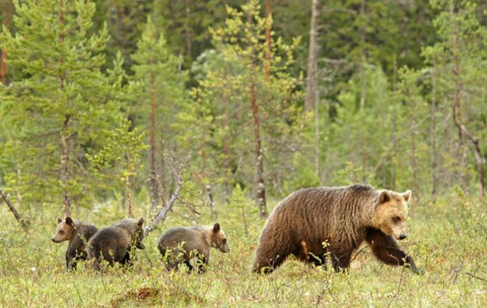 Hunnbjørn med unger. Den største trusselen mot bjørnungene det første leveåret er faren for at de blir angrepet og drept av hannbjørn. (Foto: Ilpo Kojala)