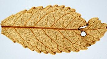 Urgamle blader tok opp CO2 effektivt og mistet mindre vann