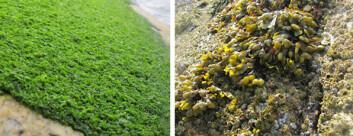 Matter med grønnalger (til venstre) erstatter forskjellige arter tang (til høyre) i den mest forurensede delen av strandsonen i Glomfjord. (Foto: Janne K. Gitmark, NIVA)