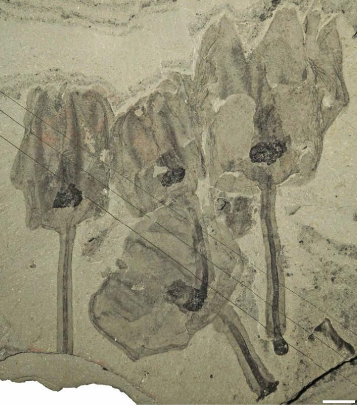 En klynge tulipandyr er fanget av et skred på havbunnen og omdannet til fossiler. Hvit linje er lik én centimenter. (Foto: Royal Ontario Museum)