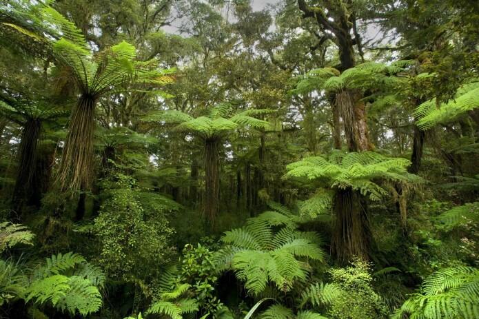 New Zealand har temperert regnskog i dag også. I tidlig miocen var skogen varm-temperert til subtropisk ved utgravingsplassen.