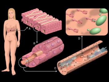 """""""Kroppens avfallshåndtering: Endotelcellene danner blodårene i leveren og renser blodet for uhumskheter av ymse slag, blant annet virus. Illustrasjon: Roy Lysaa, UiT"""""""