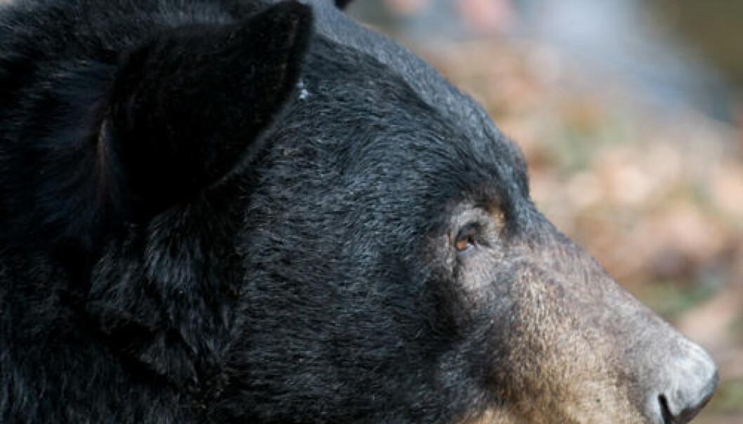 Amerikansk svartbjørn i profil (utsnitt). iStockphoto.com