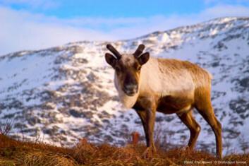 Ernæringsanalyse på reinsdyrkjøtt har vært mangelfull i forhold til andre husdyr. Derfor har Senter for samisk helseforskning ved Universitetet i Tromsø analysert reinsdyr som matvare. (Foto: Paul Weaver, Destinasjon Tromsø)