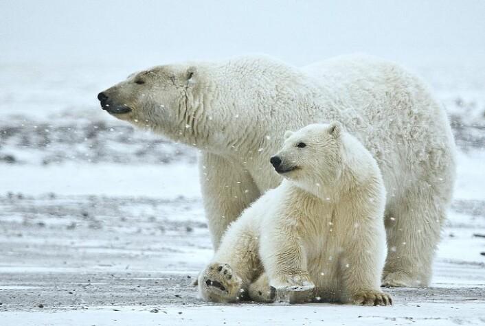 Det kan bli katastrofalt for blant annet isbjørnen når isen er borte i Arktis. (Foto: Alan D. Wilson/Wikimedia Creative Commons)
