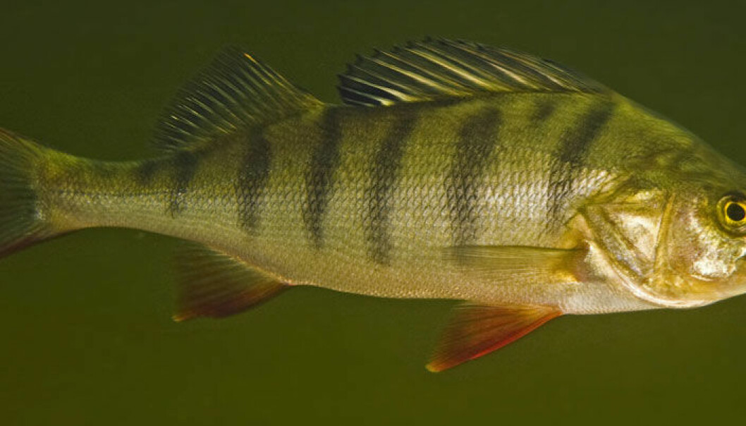 Abbor (Perca fluviatilis). Bent Christensen
