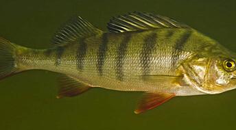 Medisinrester i vann gir fryktløs fisk