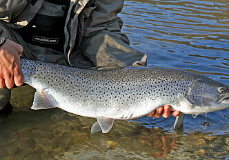 Sea trout numbers are declining in Norway and scientists don't know why