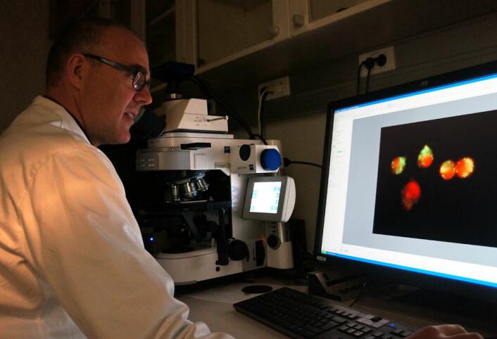 Pål Selbo studerer levende kreftceller i mikroskop. Rød farge indikerer at det fotosensibiliserende stoffet er aktivert. (Foto: Arnfinn Christensen, forskning.no.)