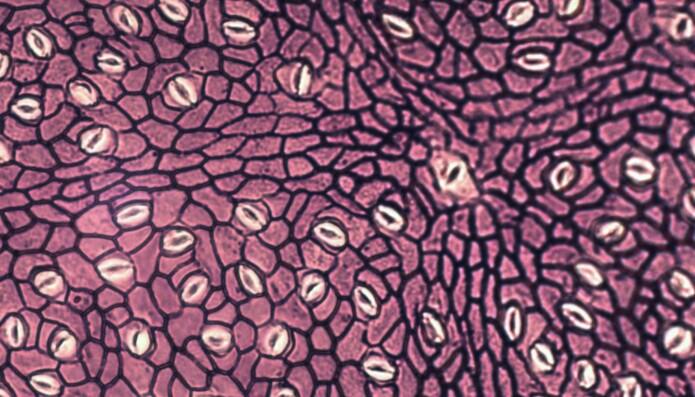 Mikroskopbilde av et av bladene viser stomataene, som ser ut som små munner.