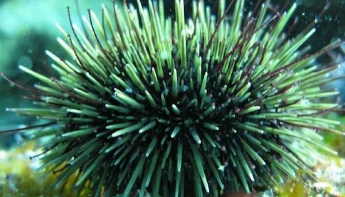 Kråkeboller beiter ned tareskogen i nord. Det kan forverre effekten av oljesøl