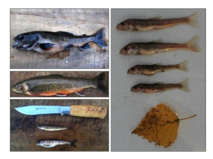 Montage of the four different typs of char. Top left is the fish eating char, which is the biggest one. Under this one, a regular char, which eats insects, larvae and plankton. Bottom left is the dwarf, which lives deeper down where there is less feed. And on the right hand side - the smalles deep water char, living at such depths that there is very little feed available.