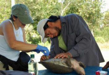 Gracia González-Porter (til venstre) og kollegaen Rene Calderon i ferd med å ta prøver av en elveskilpadde fra Belizeelva. Prøvene tas mellom tærne på den ene bakfoten. (Foto: Gracia González-Porter)