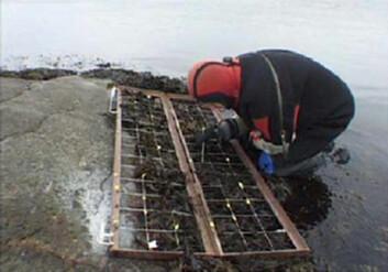 På de undersøkte stasjonene ble det utført registreringer av dyr og fastvokste alger ito dybdenivåer, ett i fjæra og ett i sagtangbeltet like under fjæra. Rammene har en størrelse på 150x 60 centimeter og er inndelt i 90 ruter. Metoden innebærer en registrering av antallet alger og dyr i 30 tilfeldig valgte ruter, hvilket gir et godt grunnlag for senere statistisk behandling. Rammene ble plassert på faste, markerte flater på fjellet, slik at nøyaktig samme område ble undersøkt alle år. (Foto: NIVA)