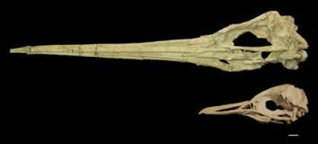 """""""Nebbete fugler: Dette er den første hele kjempepingvin-skallen som er funnet. Skallen har tilhørt et medlem av Icadyptes salasi. Den nederske skallen tilhører  Spheniscus humbolti, den eneste pingvinrasen som lever i dagens Peru. Foto: Daniel Ksepka.>    Referanse: """""""