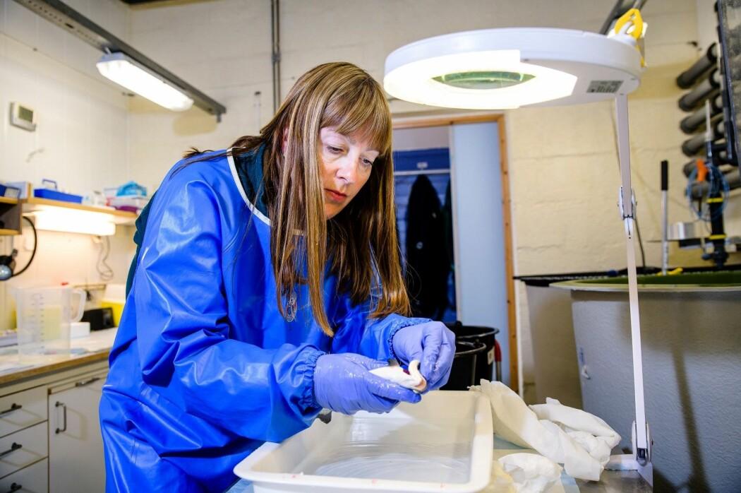 Som forsker i et anvendt institutt bruker Mette Breiland mye av sin tid på å utføre forskeroppdrag på bestilling fra næringsaktørene. Det kan blant annet handle om å forstå hvordan den fryktede amøbegjellesykdommen AGD angriper fisken og hvordan den kan behandles.