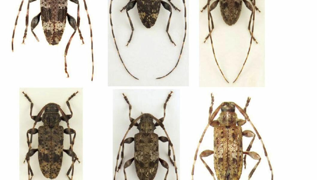 Hanner fra de seks nye artene fra billefamilien Trebukker. Zootaxa