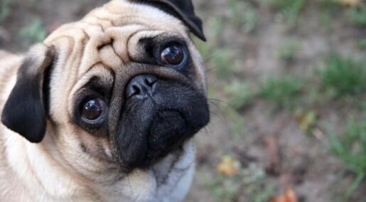 Mange vil velge hunder med flatt ansikt igjen til tross for risiko for helseproblemer