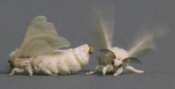 Hunnens lettflyktige feromon, bombykol, som frigis fra en kjertel på bakkroppen, gjenkjennes av hannens spesifikke feromonsystem. Signalet utløser en stereotyp adferdsrespons hos hannen. (Foto: biology-blog.com)