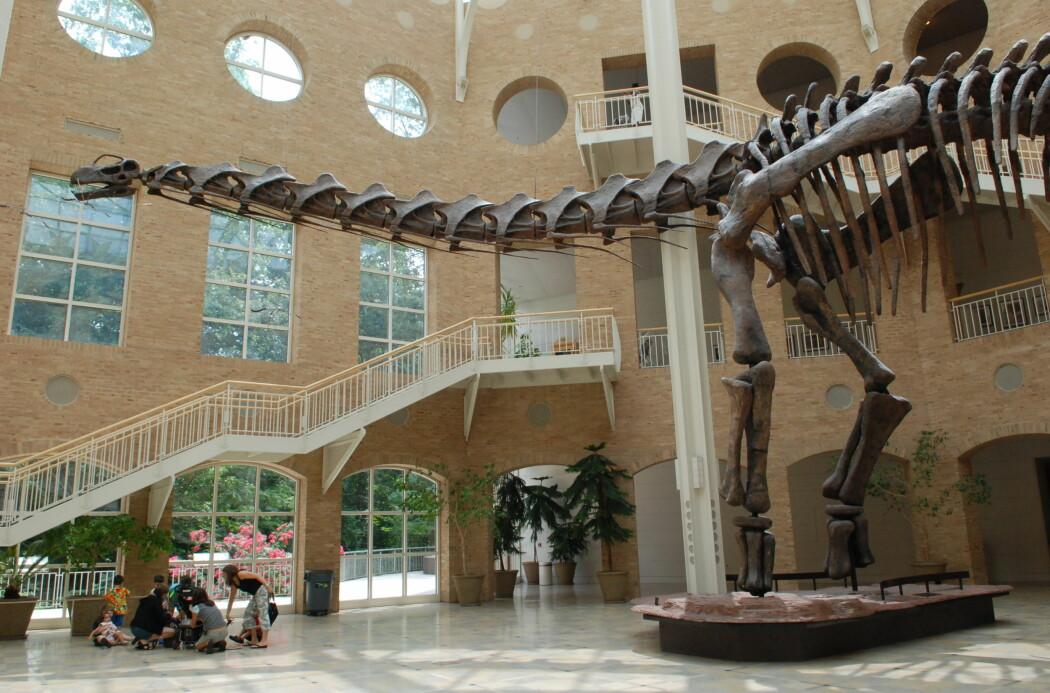 En av de største titanosaurene var Argentinosauren. Her er skjelettet av en Argentinosaurus på Fernbank Museum i Atlanta i USA.
