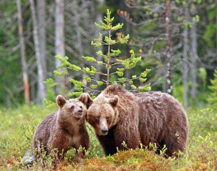 I den mest kritiske perioden fra midten av mai til midten av juli trekker hunnbjørn med unger ofte til områder der de er mindre utsatt for å treffe hannbjørn, viser ny studie. (Foto: Ilpo Kojala)